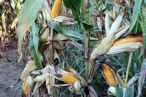Usevi kukuruza u katastrofalnom stanju