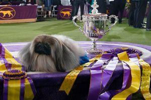 Westminster-Hunde-Show in New York: Pekinese Wasabi gewinnt