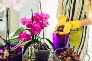 Za lepše cvetanje orhideja: trik je u zelenom čaju!