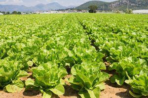 Dobra za imunitet, a tek stomak: ZELENA salata je zdrava pod OVIM uslovom