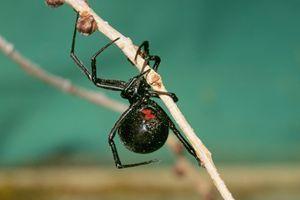 7 zanimivosti o najbolj strupenem pajku na hrvaški obali