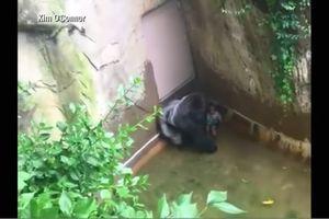 Kad proradi majčinski instinkt: Trogodišnji dečak je upao u kavez sa gorilama, a njihova reakcija se i danas prepričava