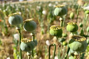 OD OVE BILJKE MOŽETE DA ZARADITE VIŠE OD 40.000 EVRA Seje se kao pšenica, a prinos ide i do 800 kilograma po jutru
