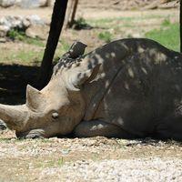 Uginuo najstariji beli nosorog na svetu