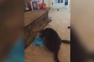 BEST EVER Kitty Cucumber Scare FAIL!