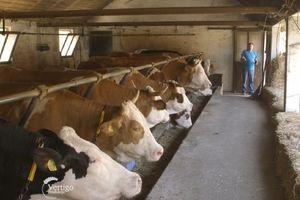 Zbog loše cene mleka, stočari rasprodaju krave!