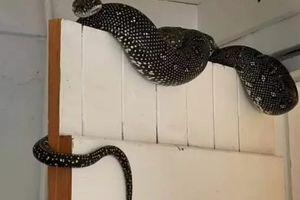 Čovek iz Sidneja pronalazi masivnu, zastrašujuću zmiju kako visi na vratima od podruma, a njena veličina će vas šokirati! (VIDEO)