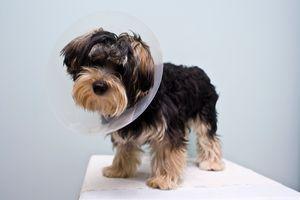 Patellaficam kutyáknál: ezekre a jelekre figyelj, ha kistestű kedvenced sántít
