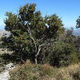 Αμπελιτσιά: Το απειλούμενο ενδημικό δέντρο της Κρήτης που απειλείται με εξαφάνιση | video