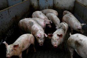 Zašto ima manje svinja u Srbiji?