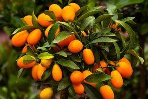 Ovo DRVO obavezno POSADI u dvorištu, plodove JEDU i DIJABETIČARI, daleko je zdravije od ostalog voća!