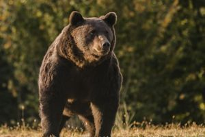 Medveď v Kežmarku ohrozil cyklistku, žene sa podarilo ujsť