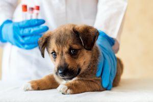 Skoro desetina psů je zamořená parazity, které už nelze zlikvidovat. Přestaly na ně působit léky