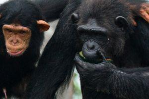 Lichotky šéfovi vedou k úspěchu, zjistili i šimpanzi