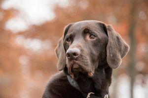 I taková banalita jako barva srsti ovlivní zdraví psa. Kdo je na tom hůř – ten světlý, nebo tmavý?